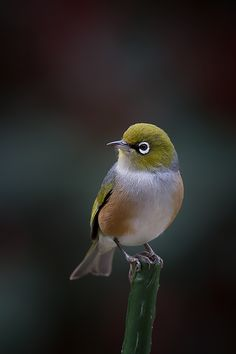 The Silvereye - Zosterops lateralis, is a small bird with a conspicuous ring of white feathers around the eye, and belong to a group of birds known as white-eyes.