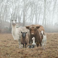 This Photographer Photographs Farm Animal Like No One Else. This entire series is phenomenal.