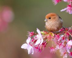 vinous throated parrotbill    (photo by mirror_lake)