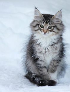 Sweet Snow Kitty #whistler #snow animals #funny animals