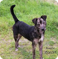 Conroe, TX - Pit Bull Terrier Mix. Meet MADDIE, a dog for adoption. http://www.adoptapet.com/pet/10656974-conroe-texas-pit-bull-terrier-mix