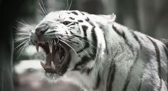 white tiger wallpaper hd Archives - Free Wallpaper In