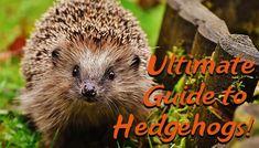 Hedgehogs! | Ultimate Guide to Looking After Hedgehogs | DIY Garden