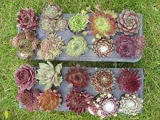 20 Jungpflanzen Hauswurz Dachwurz Sempervivum Nr. 4