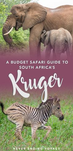 If you want to see Kruger National Park in South Africa on a budget, then check out this guide on how to go on your own safari! #southafrica #kruger