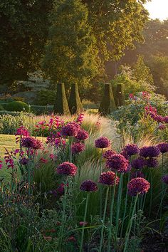 Pettifers, Oxfordshire: Dawn light hits a border with allium firmament, stipa tenuissima, gladiolus communis byzantinus with parterre behind.