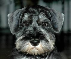 3 Schnauzer Thanks to my dog for being so loving. http://petdesk.net/category/pet-shop/