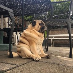 Caption Challenge! By @thepugwithrolls Follow us now! http://ift.tt/2bz0l8e #pug #pugsloveronly #pugs