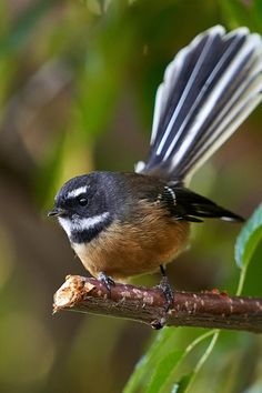 Close up of the small insectivorous bird that is the native NZ fantail. World Birds, All Birds, Love Birds, Pretty Birds, Tropical Birds, Colorful Birds, New Zealand Art, Nz Art, Most Beautiful Birds