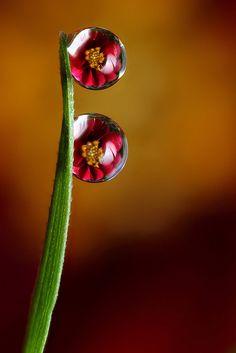 Dahlia Dew-drop Refraction - Flickr - Photo Sharing!