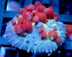Hybrid Bubble Mushroom http://FragJunky.com http://Facebook.com/FragJunkyCorals