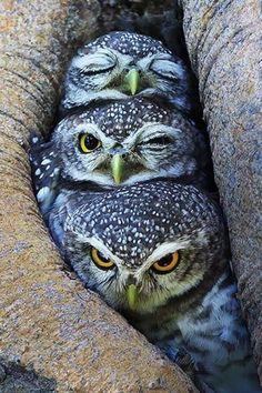 BUHOS: dormido, con noni y despierto - Owl Photos, Owl Pictures, Nature Animals, Animals And Pets, Cute Animals, Beautiful Owl, Animals Beautiful, Pretty Birds, Love Birds