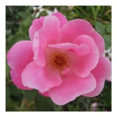 Lovely Pink Rose Flower Perfect Poster