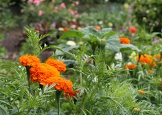Orange marigolds are lining our Kitchen Garden beds this summer.