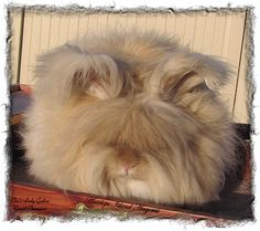 English Angora Rabbit - Chocolate Tort  Name:  Chu's Lady Godiva  Owner:  Me