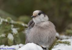 Gray Jay by Steve Dunsford on 500px