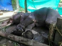 Pariyanampatt Parameswaran is very sick and in a pitiful state (temple elephant in Kerala) where is vet? This is abuse and negligence (5-2017)