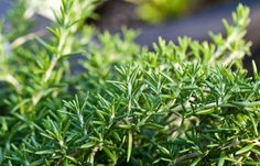 "Rosemary Evergreen Herb Height: Creeping 6-12"" or Upright 3-6' . Full sun only. Most varieties bloom in the spring. Great ground cover. NOT deer resistant."