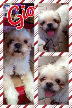 GIO!!! <3 <3 <3 • Shih Tzu • Anarchy Animal Resc; Staten Island, NY. 1 yr, 12 lbs. Super playful! Give this boy a toy & he'll play for hours! Loves Dogs &  very friendly to them, but because he likes to always play, any dog in the home should have his energy level. He'd also be fine being an only dog as he loves his human all to himself too. When not playing, loves to curl on your lap while lounging & likes to snuggle. Still needs little help w/ housebreaking. Kids 14+.