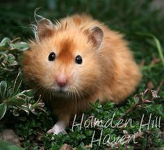 Kailey- Copper Satin Longhaired Syrian Hamster