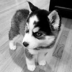 Wonderful All About The Siberian Husky Ideas. Prodigious All About The Siberian Husky Ideas. Beautiful Dogs, Animals Beautiful, Husky Mignon, Cute Baby Animals, Funny Animals, Baby Huskies, Siberian Huskies, Huskies Puppies, Siberian Husky Puppies