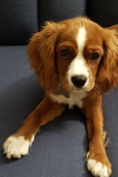 All About Fun Cavalier King Charles Spaniel Exercise Needs King Charles Cocker Spaniel, Cocker Spaniel Mix, Cavalier King Charles, Puppy Mix, New Puppy, Pet Dogs, Dog Cat, Doggies, Cutest Dog Ever