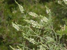 Texas Kidneywoody -- 3-10 ft, deciduous, full sun, fragrant blooms May-Oct, attracts bees and butterflies.
