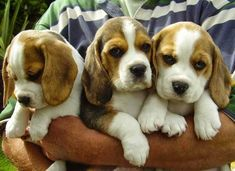 N/A #BeagleCute