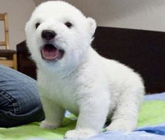 Baby Polar Bear :) Now only if they stayed that cute and little...