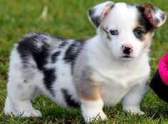 Corgi Aussie mix! This is our next dog!
