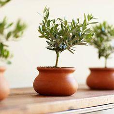 Olive Tree in Terracotta Pot.