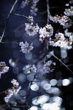 Cherry blossom, Tokyo, Japan