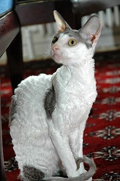 Intelligence, jumping skills, and lengthy toes are what makes Cornish Rex cat amazing. This intelligent breed of cat has the skills to open doors, hang on different objects and can even rummage on your closets. Rare Cat Breeds, Rare Cats, Exotic Cats, Gatos Devon Rex, Devon Rex Cats, Cute Cats And Kittens, I Love Cats, Cool Cats, Gatos Cool