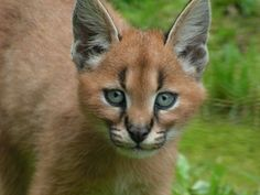 Caracal cub by ~Henrieke