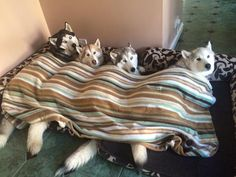 Life with a Siberian husky
