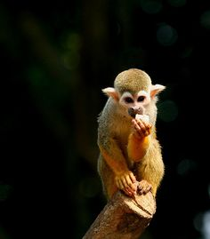 squirrel monkey?