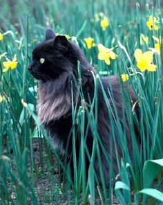 Black long-haired cat with yellow daffodils