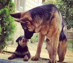 GSD & Rottie Pup