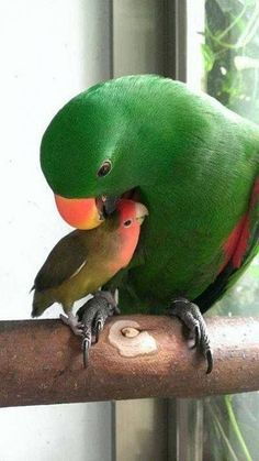 Momma parrot and baby