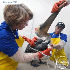 Dirt and pollution can make feathers lose their waterproofing and threaten the lives of birds. SeaWorld makes sure rescued pelicans like this one are healthy and all of their feathers are clean before returning them to the wild. #365DaysOfRescue