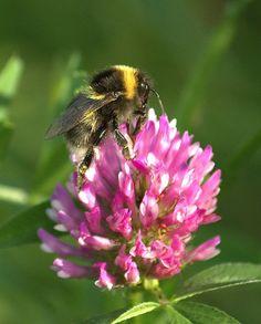Bees love red clovers! @SoilAssociation @DevonWildlife  #beefriendly