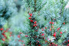 Taxus baccata Taxus Baccata, Plants, Plant, Planets