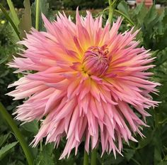 Unique Flowers, Cut Flowers, Growing Dahlias, Soft Corals, Dahlia Flower, Garden Shop, Gardening Supplies, Shaggy, Coral Pink