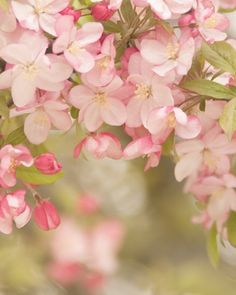 soft spring... apple tree blossom photo with dreamy pink white and creamy ecru flowers delicate calm relaxing color