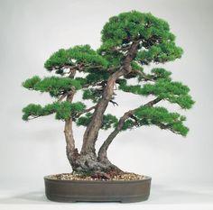 Triple trunk bonsai-Sambon yose