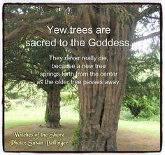 Sacred Yew