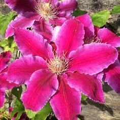 The clematis is just looking stunning in the early morning sunshine #BHGFlowers #pink #hot #stunning #clematis #instagardenlovers #casualgardens #love #loveflowers  #flowers #flowerporn #floweroftheday #flowersofinstagram #flowerstagram #flowerlove #Instagram #instagramflowers #garden #gardening #gardenflowers  #happy #nofilter #nofilterneeded #wow #iloveflowers #dscolor #dsflowers #RSflowers #RSinbloom