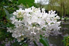 Syringa Vulgaris, White Pumpkins, Planting Flowers, Garden, Plants, Ballerina, Cottage, Hipster Stuff, Garten