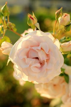 An Early Morning Walk  Rose Garden Photo Print by MermaidSightings, $7.00