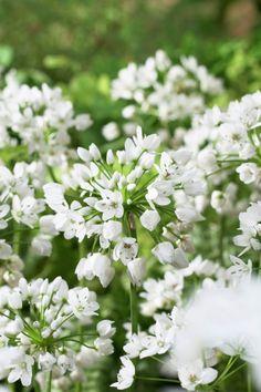 White allium • Allium neapolitanum • Allium cowanii • Plants & Flowers • 99Roots.com